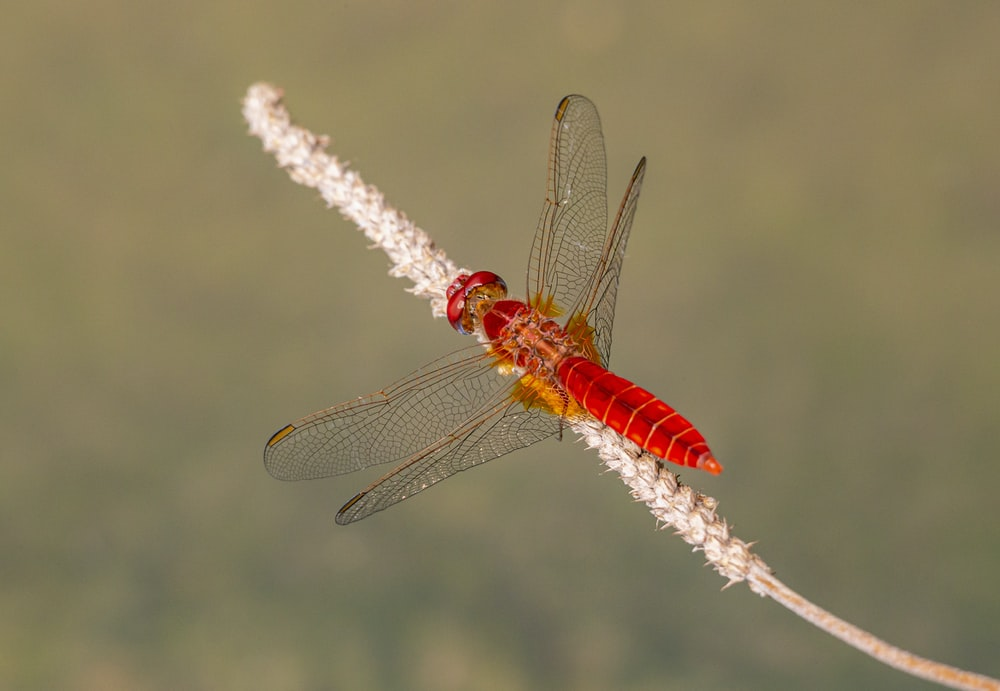red dragonfly perched on white flower in close up photography during daytime