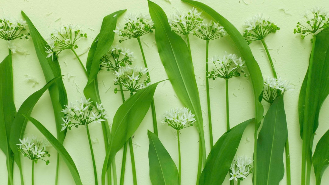 Wild Garlic In the Wind | Still Life of Wild Garlic Flowers/ramsons From My Garden Shot From Above - unsplash