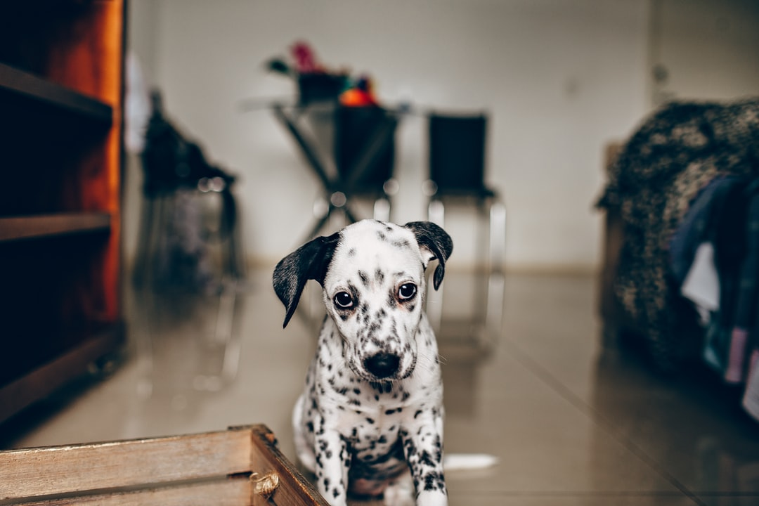 Black and White Dalmatian Dog Sitting On Brown Wooden Stool - unsplash