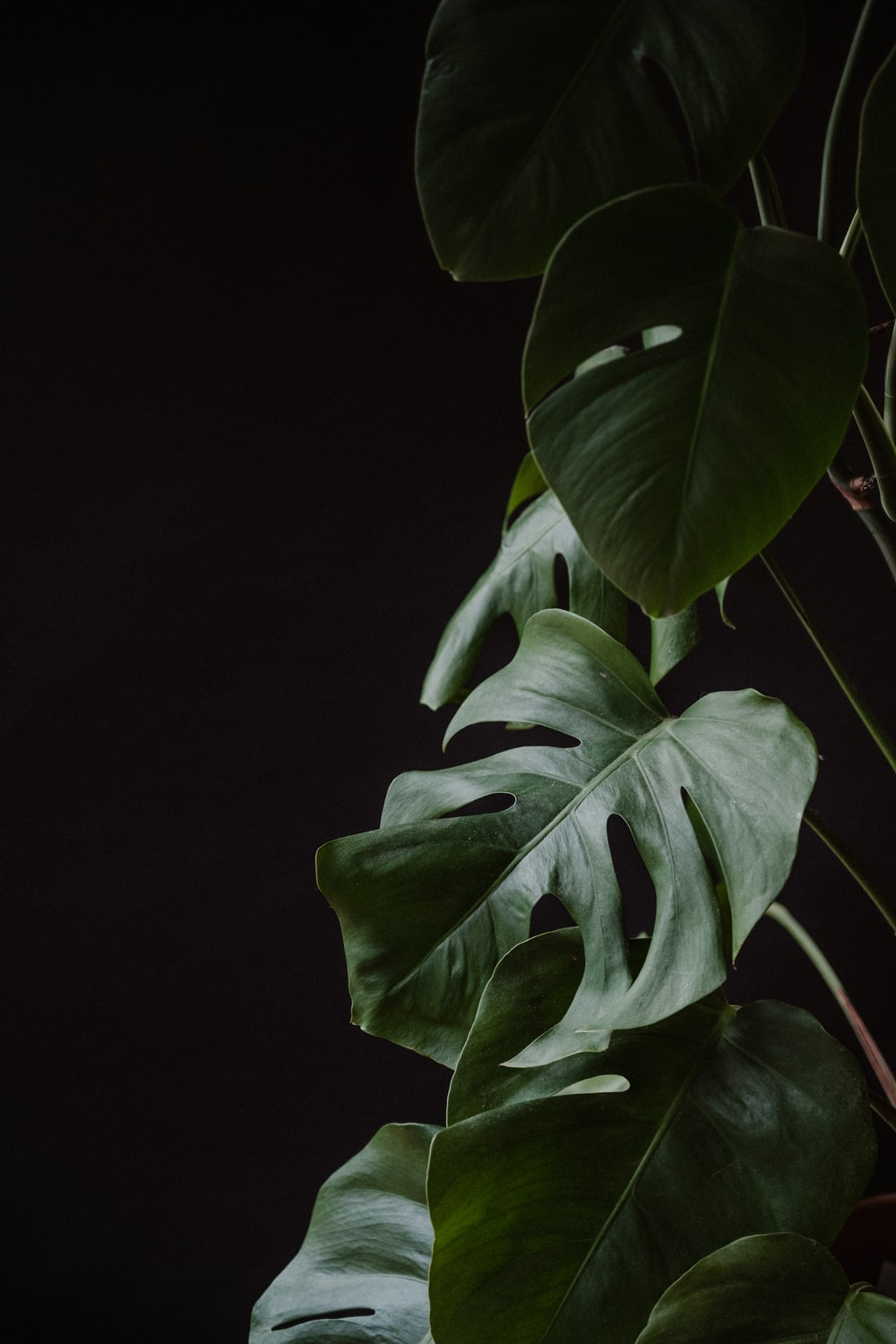 green leaves in black background