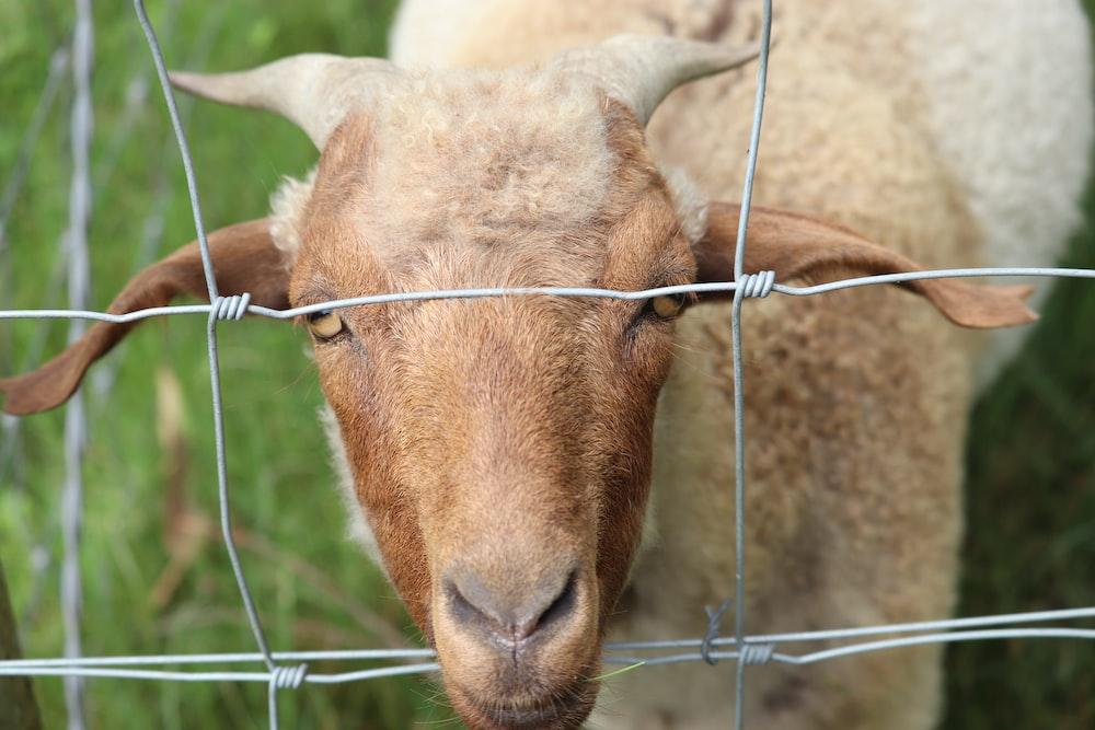 brown sheep on green metal fence during daytime