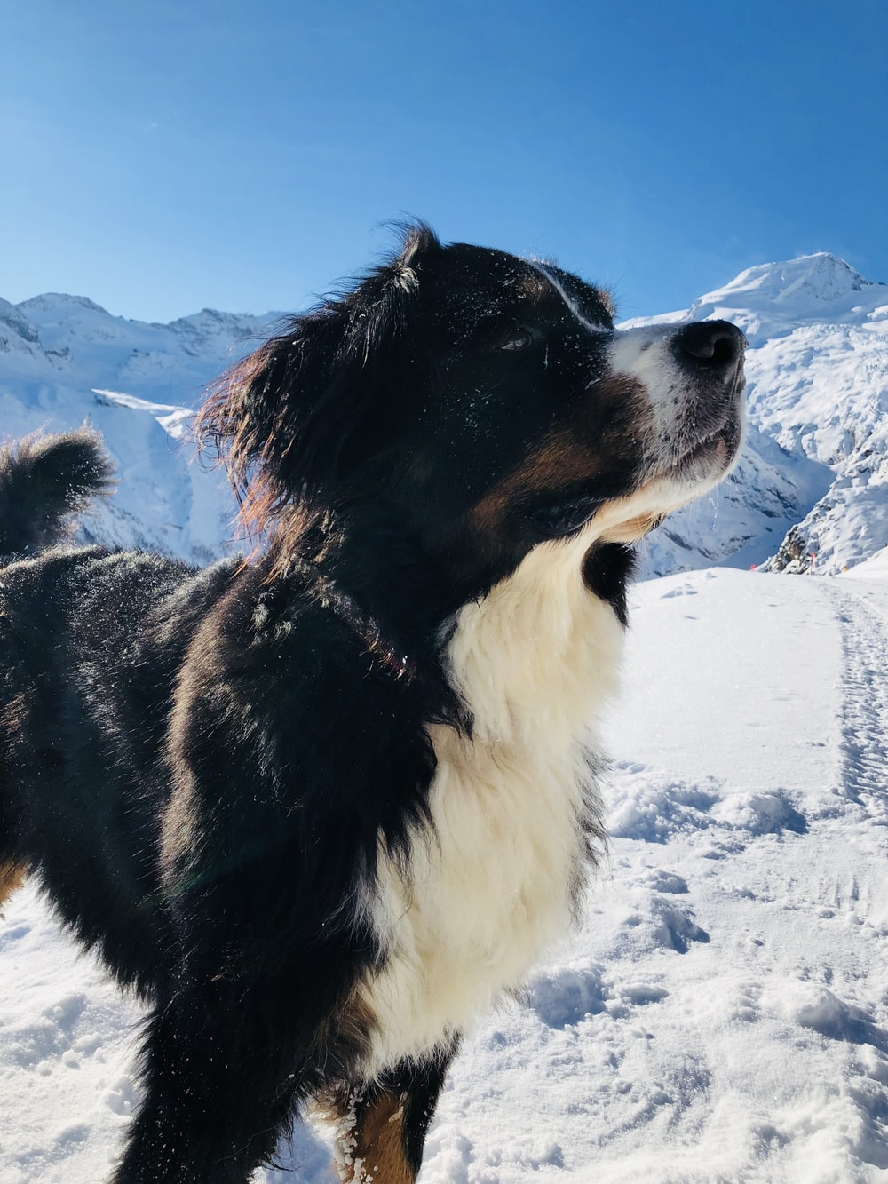 black and white border collie on snow covered ground during daytime