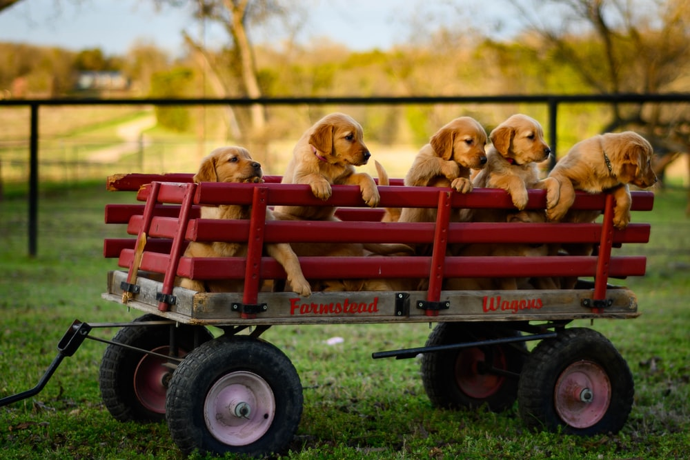 2 dogs riding red and white utility trailer
