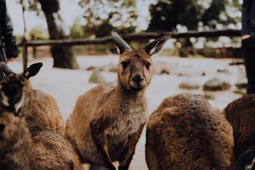 Kangaroos Pictures | Download Free Images on Unsplash
