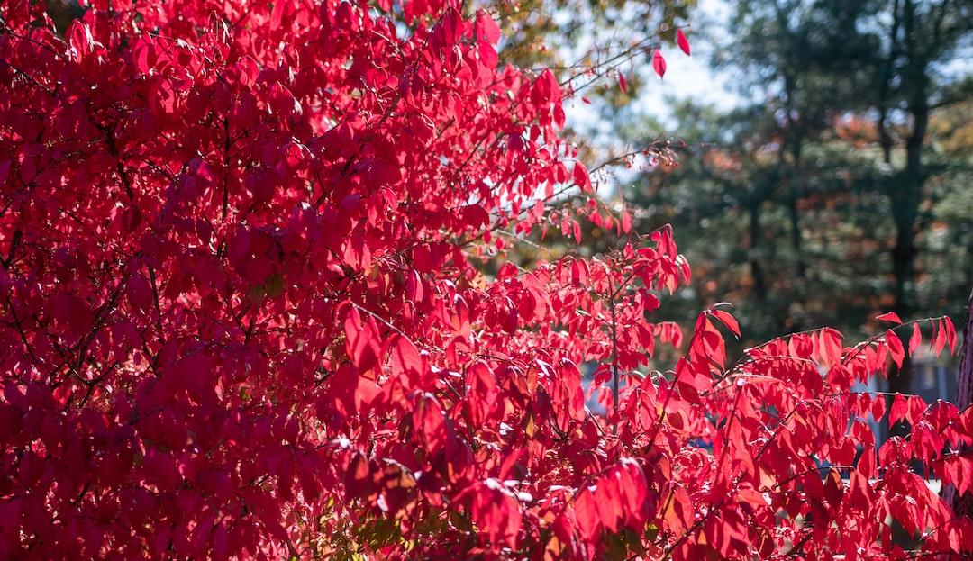 Burning Bush - Late October