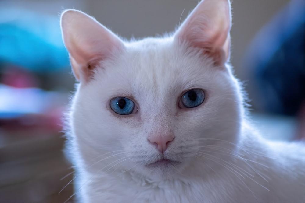 White Cat With Blue Eyes Photo Free Cat Image On Unsplash
