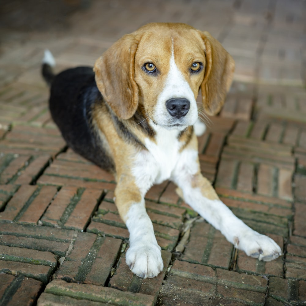 tricolor beagle puppy on brick floor