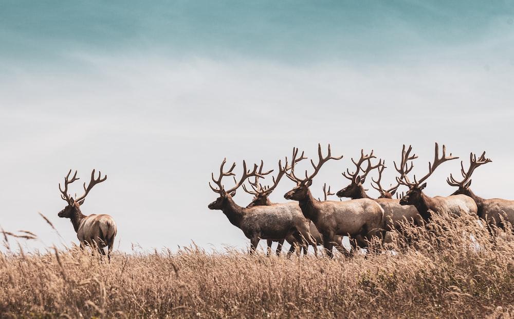 herd of deer on brown grass field during daytime
