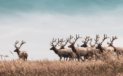 herd of deer on brown grass field during daytime deer teams background