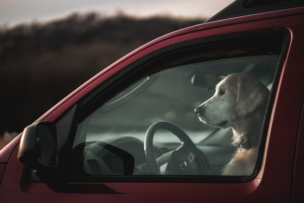 brown and white short coated dog inside car