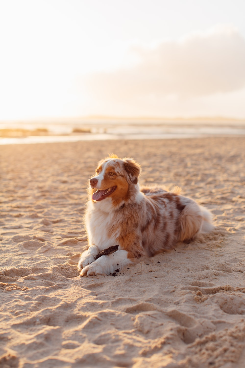 white and brown long coated dog sitting on brown sand during daytime
