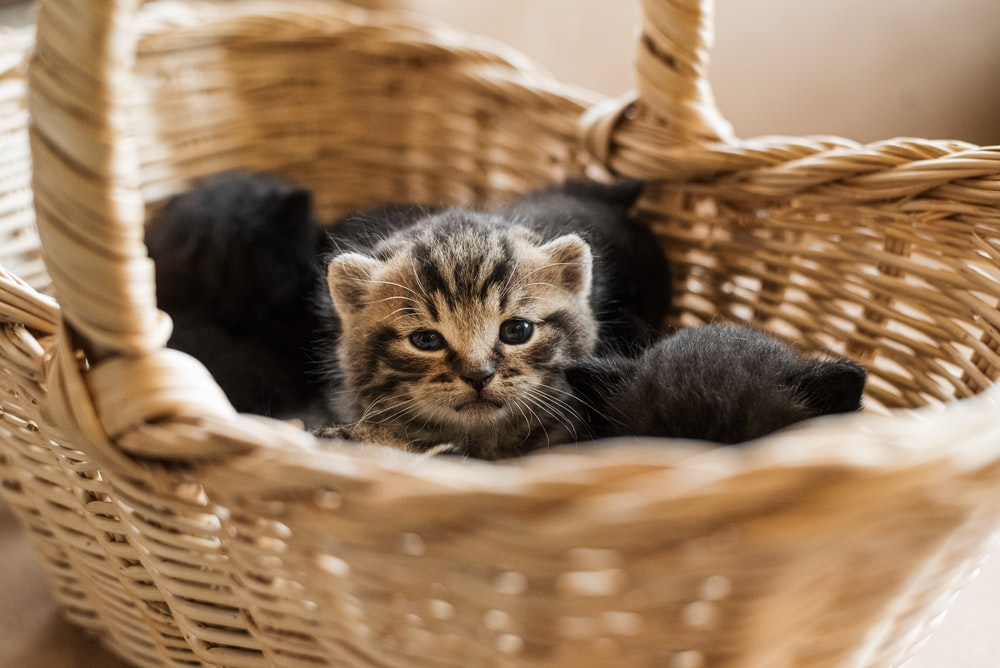 black and brown tabby kitten in brown woven basket