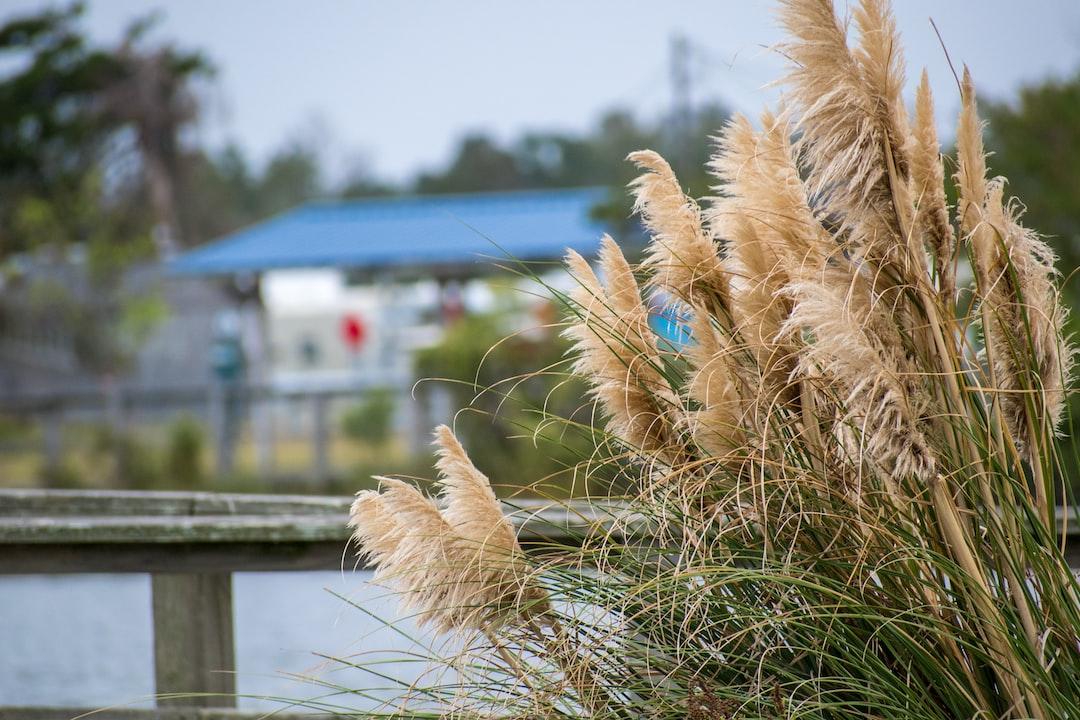 Close up of pampas grass
