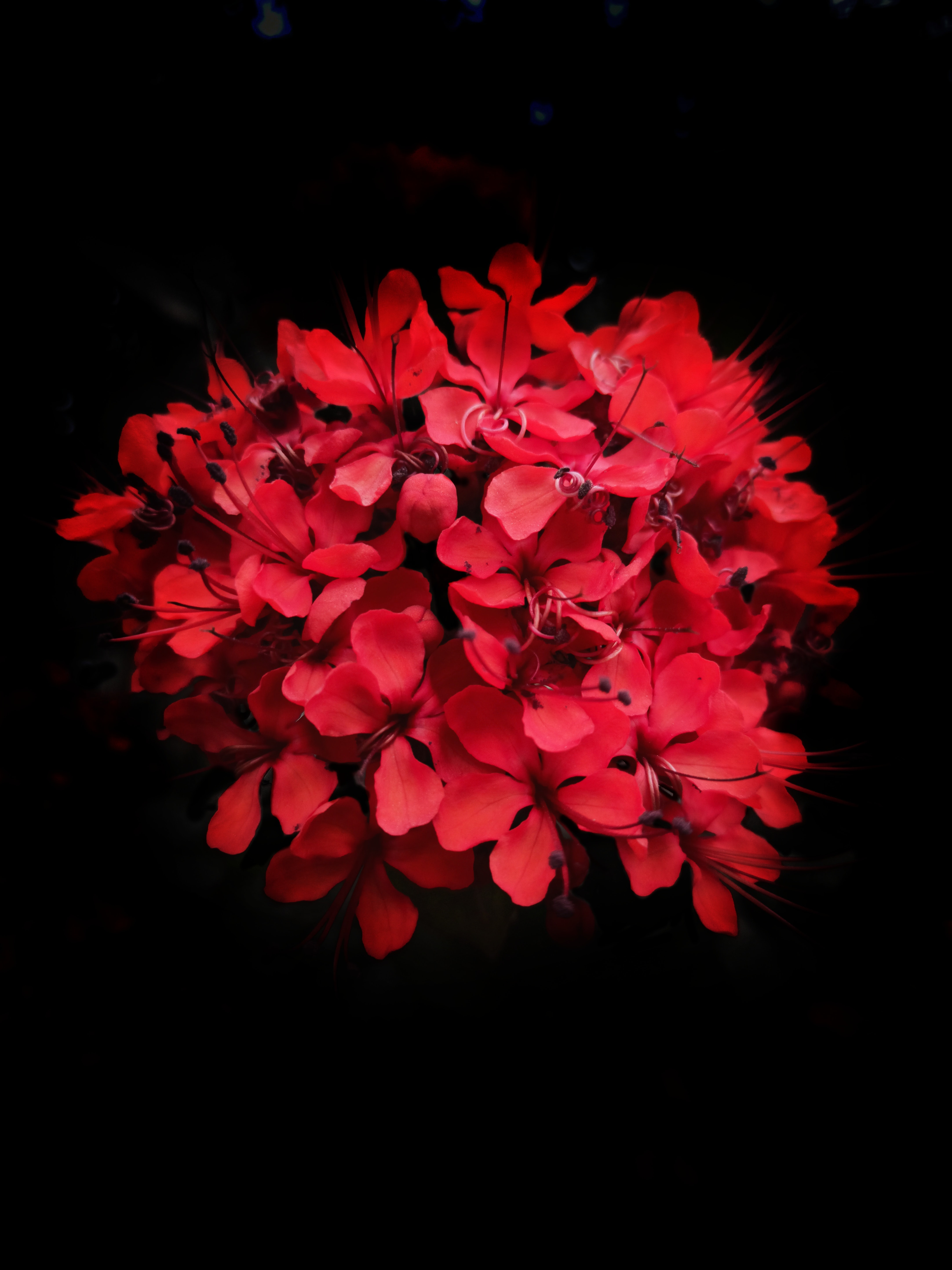 Red Flowers In Black Background Photo Free Blossom Image On Unsplash