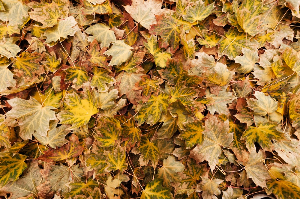 yellow and brown maple leaves on ground