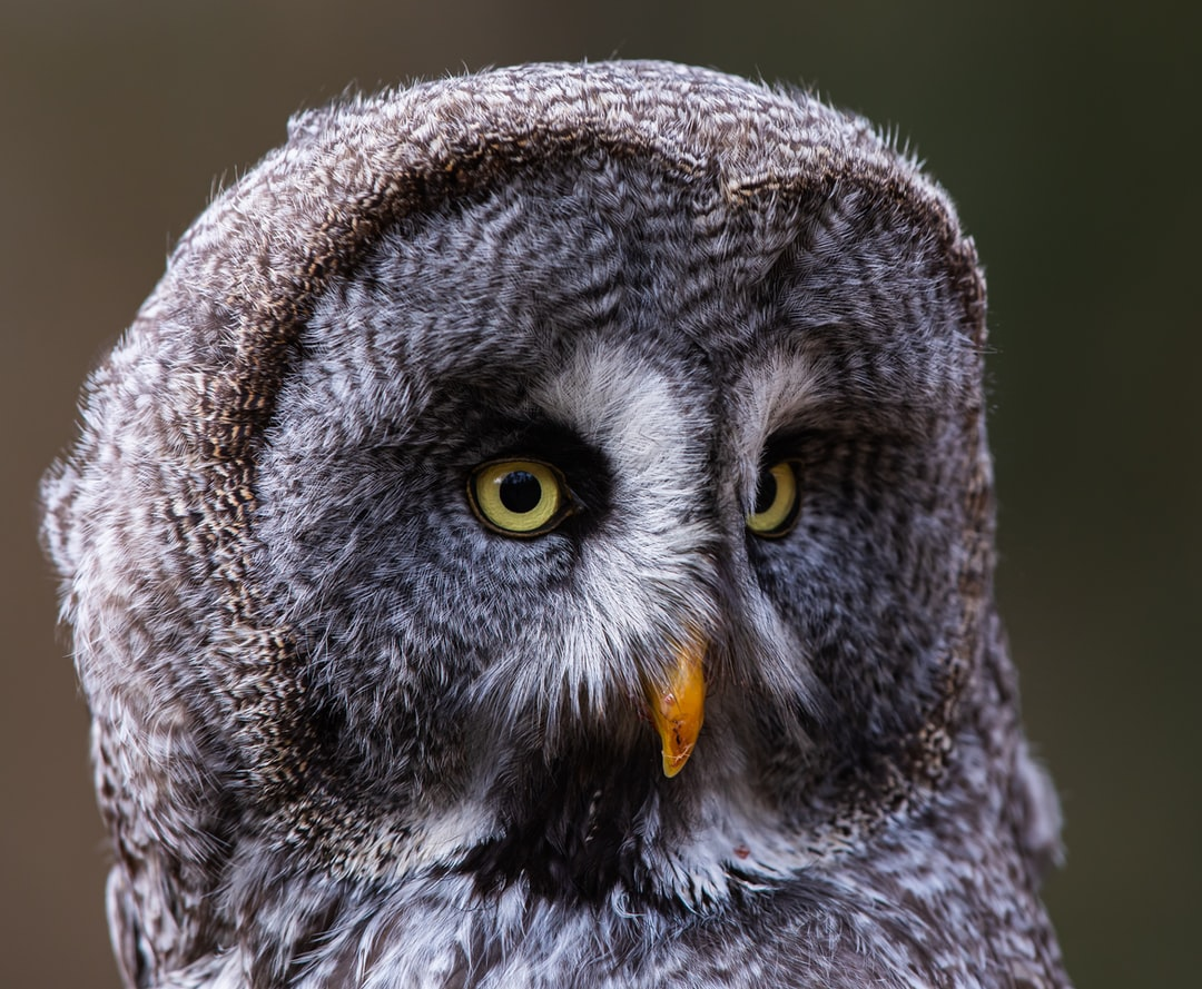 Great Grey Owl - unsplash