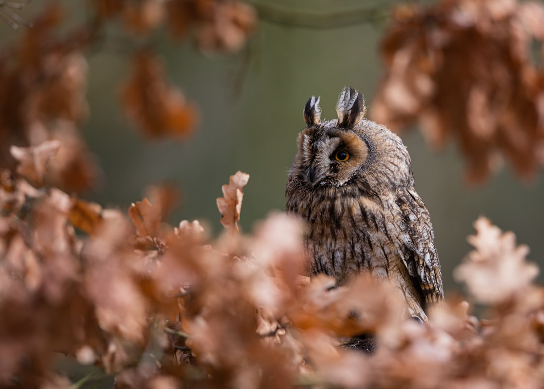 Long Eared Owl - unsplash