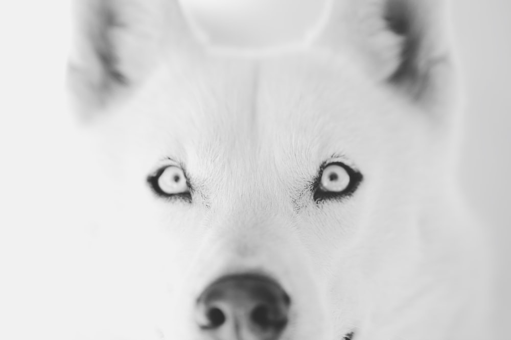 white siberian husky in grayscale photography