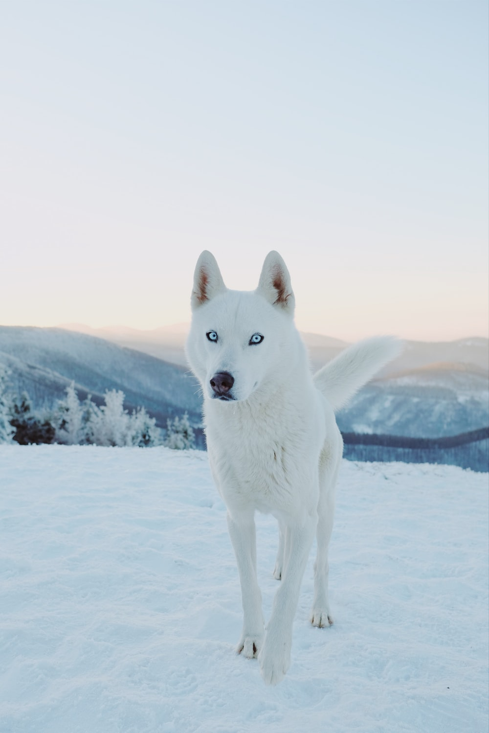 white siberian husky on snow covered ground during daytime