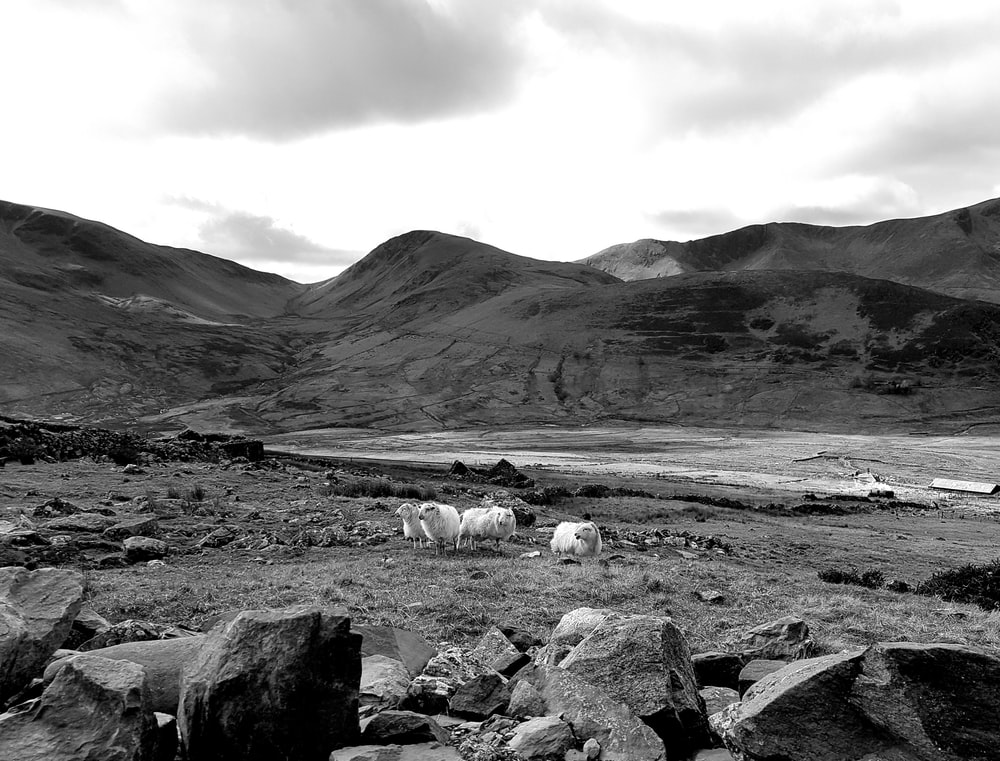 grayscale photo of herd of sheep on field near mountain