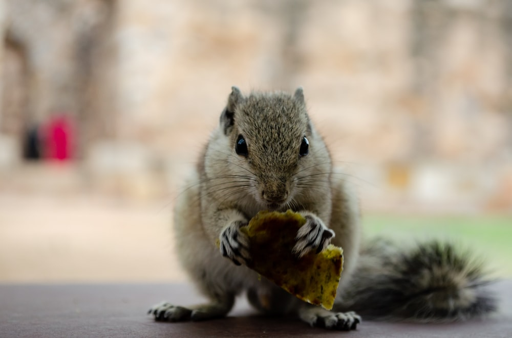 brown squirrel eating nut on white sand during daytime