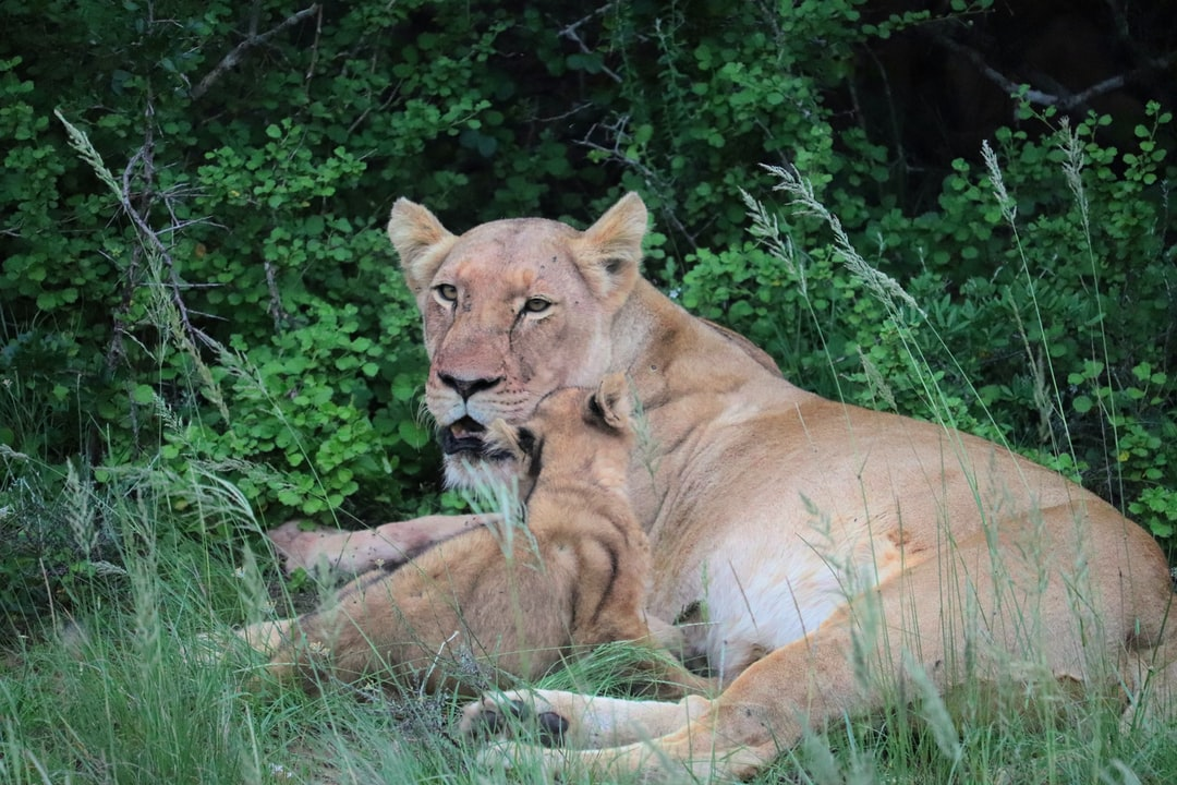 Lion cub snuggling with mom