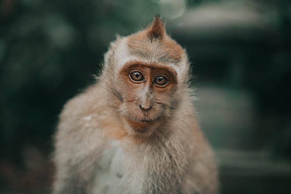 brown and white monkey in tilt shift lens