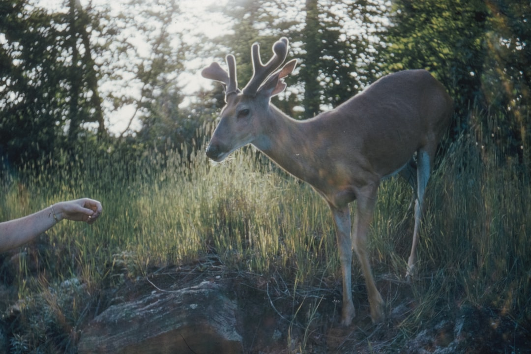 Hand Reaching Out To A Deer, Taken In Algoquin Park, July 1959 - unsplash