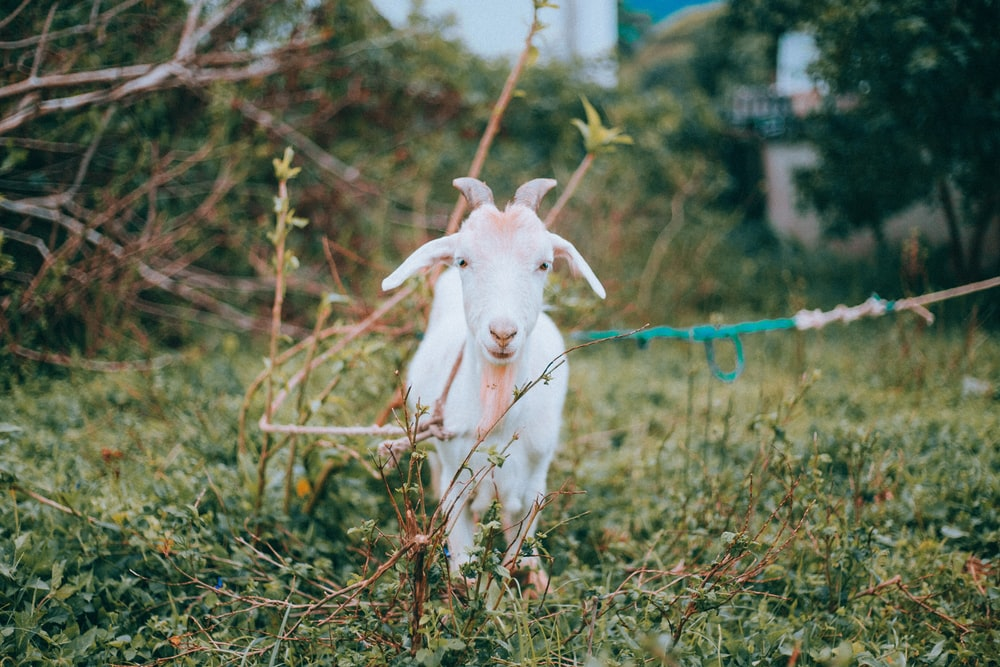 white goat on brown grass field during daytime