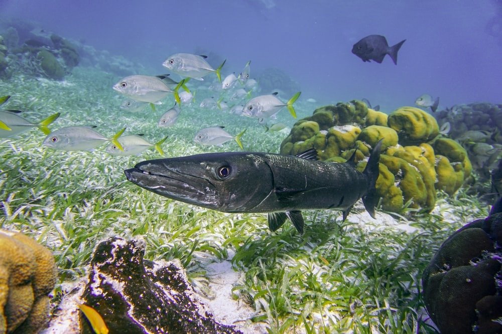 gray fish on white coral reef