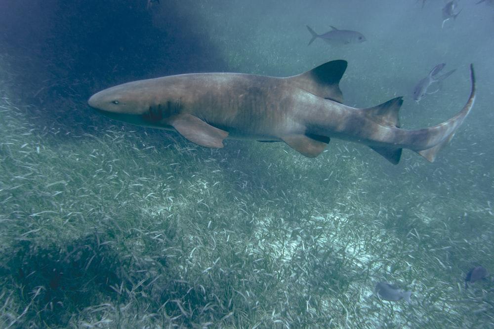 gray shark in body of water