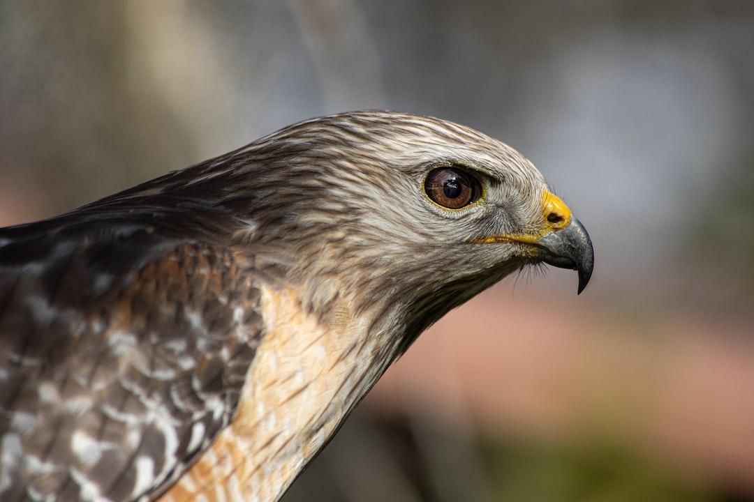 A Hawk sitting on a fence.