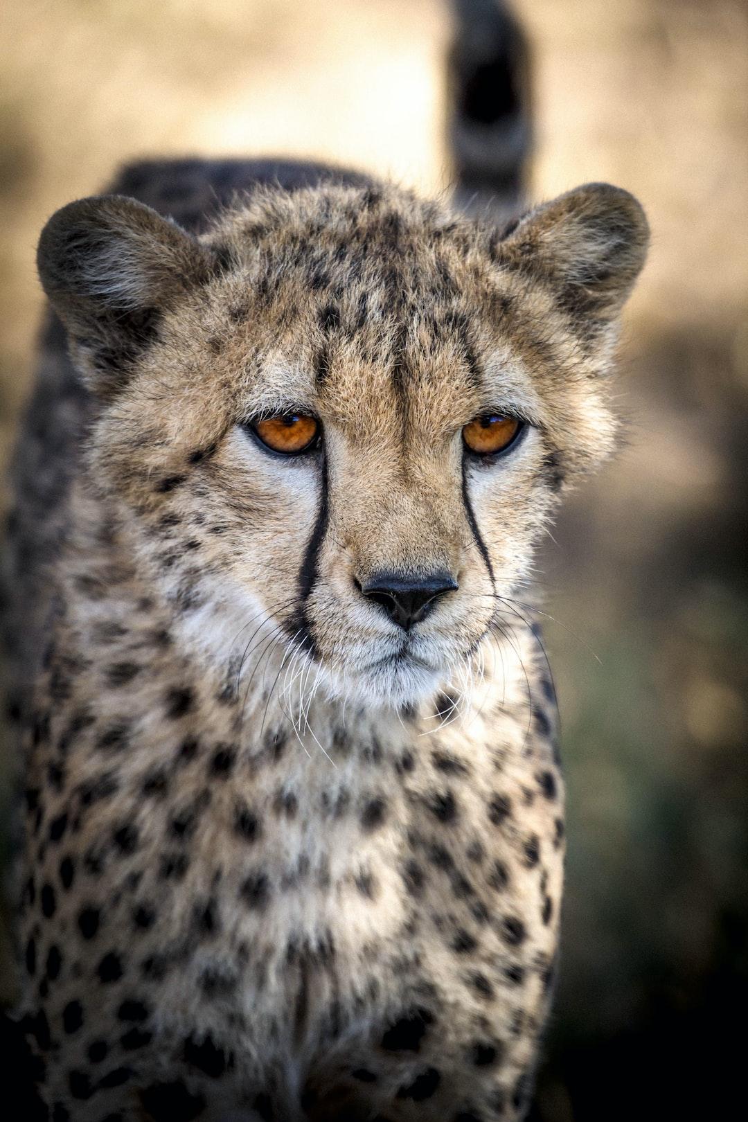 Close look of beautiful Cheetah