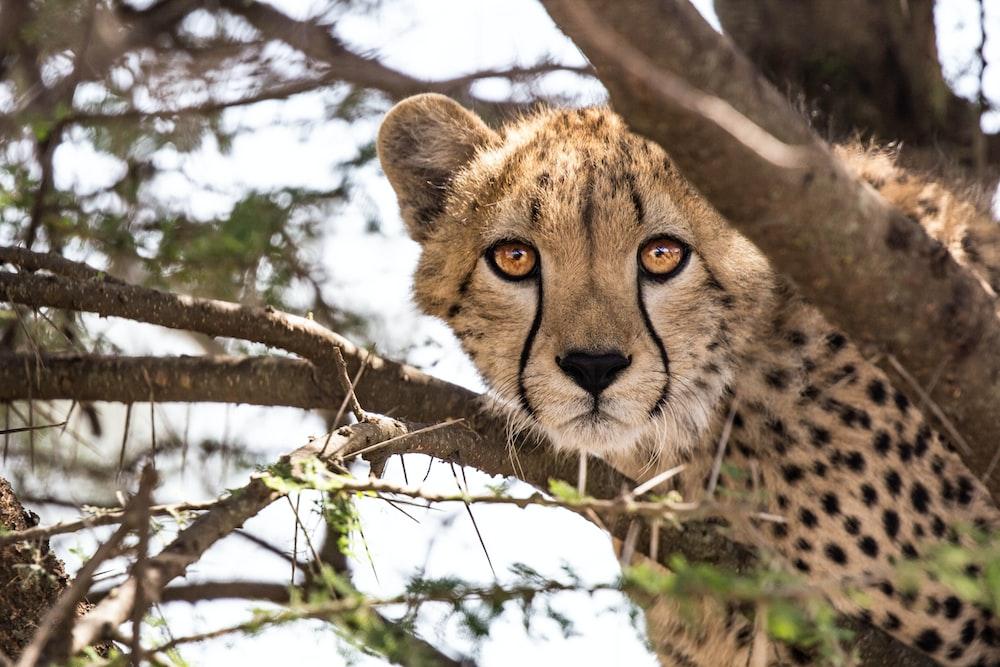 cheetah on tree branch during daytime