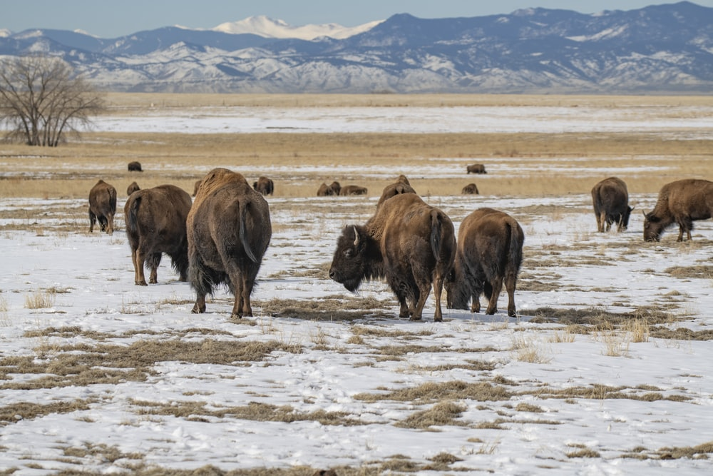 brown bison on white sand during daytime