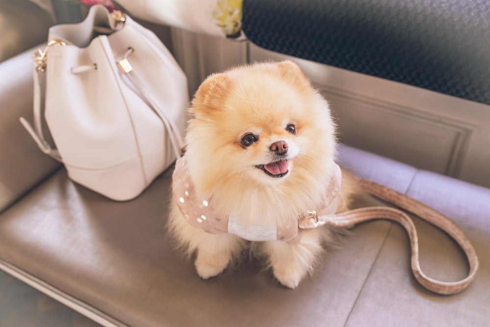 brown pomeranian puppy on white leather tote bag