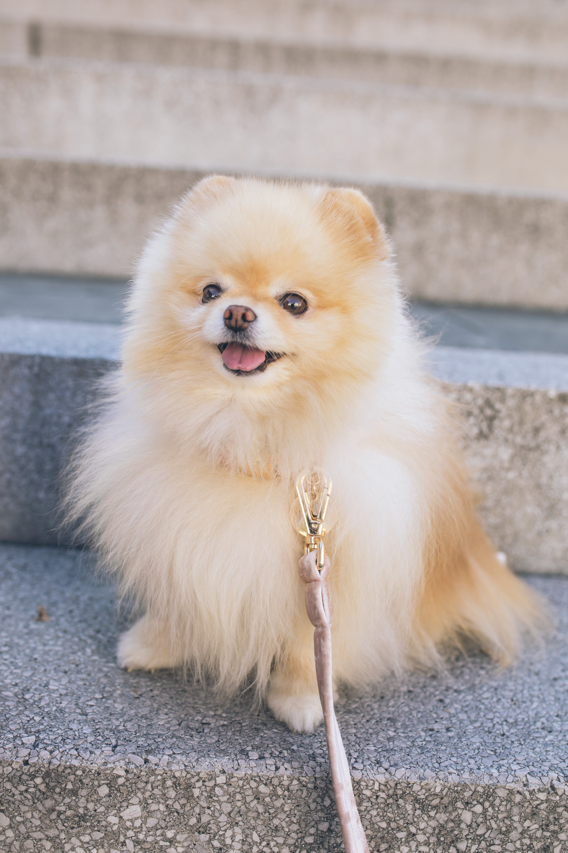 cute happy dog pomeranian smiling on a sunny city walk