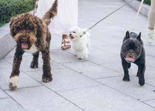 black pug and brown and black short coated small dog on white floor tiles during daytime