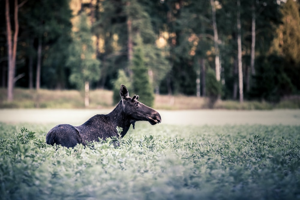 black cow lying on green grass field during daytime