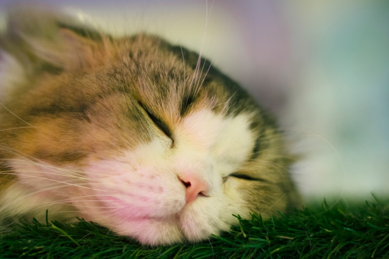 brown and white tabby cat lying on green grass