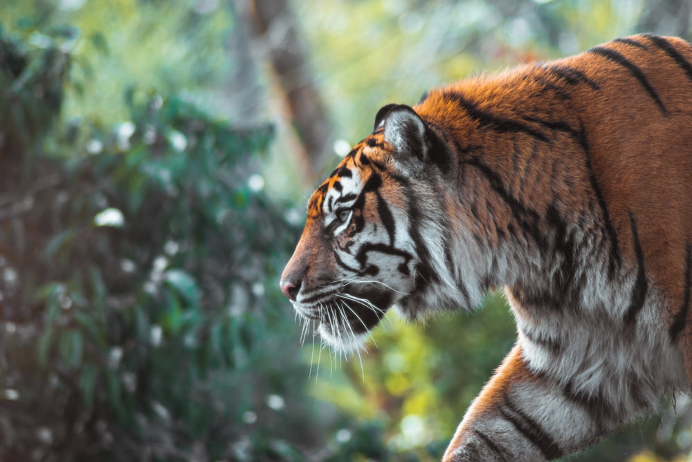 tiger on brown tree branch during daytime