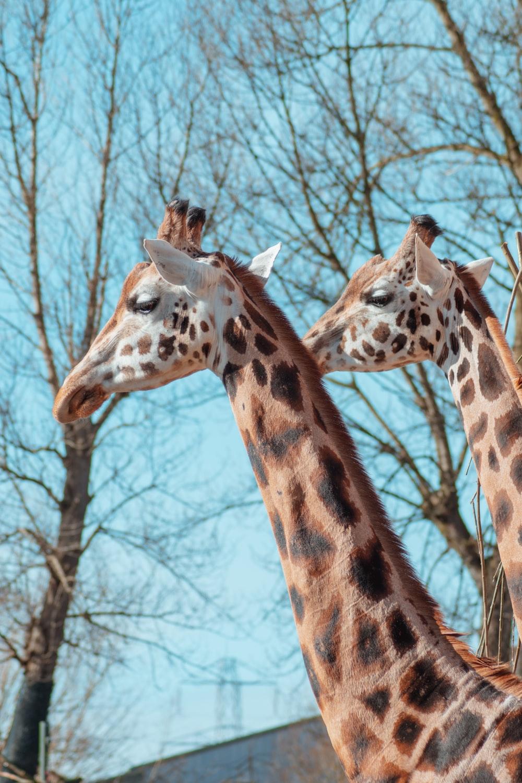 2 giraffes standing near bare trees during daytime