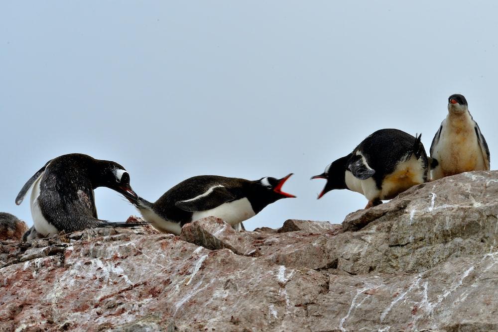 2 penguins on brown rock during daytime