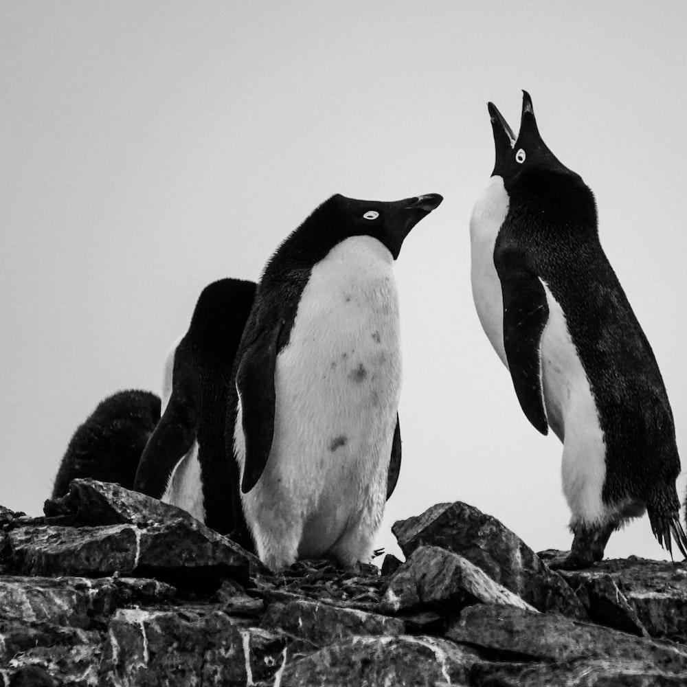 black and white penguins on rock