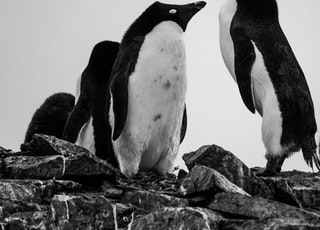 black and white penguins on rock
