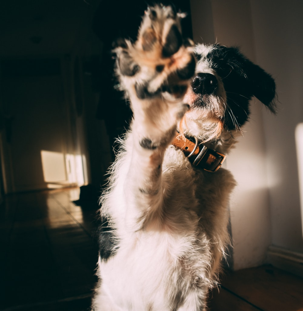 white and black long coat small dog