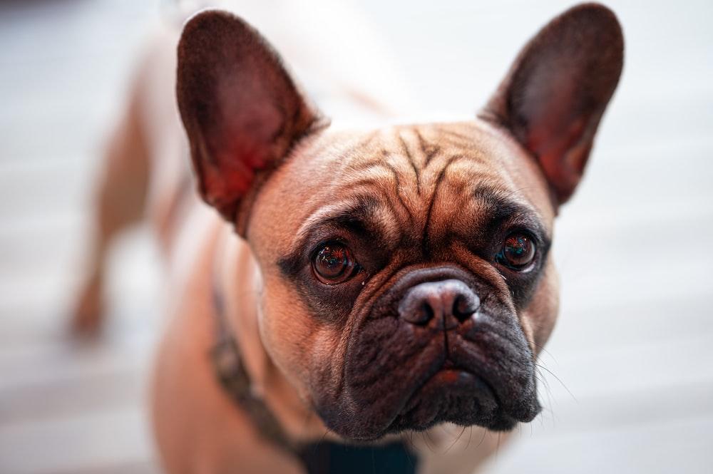 brown french bulldog puppy on white textile