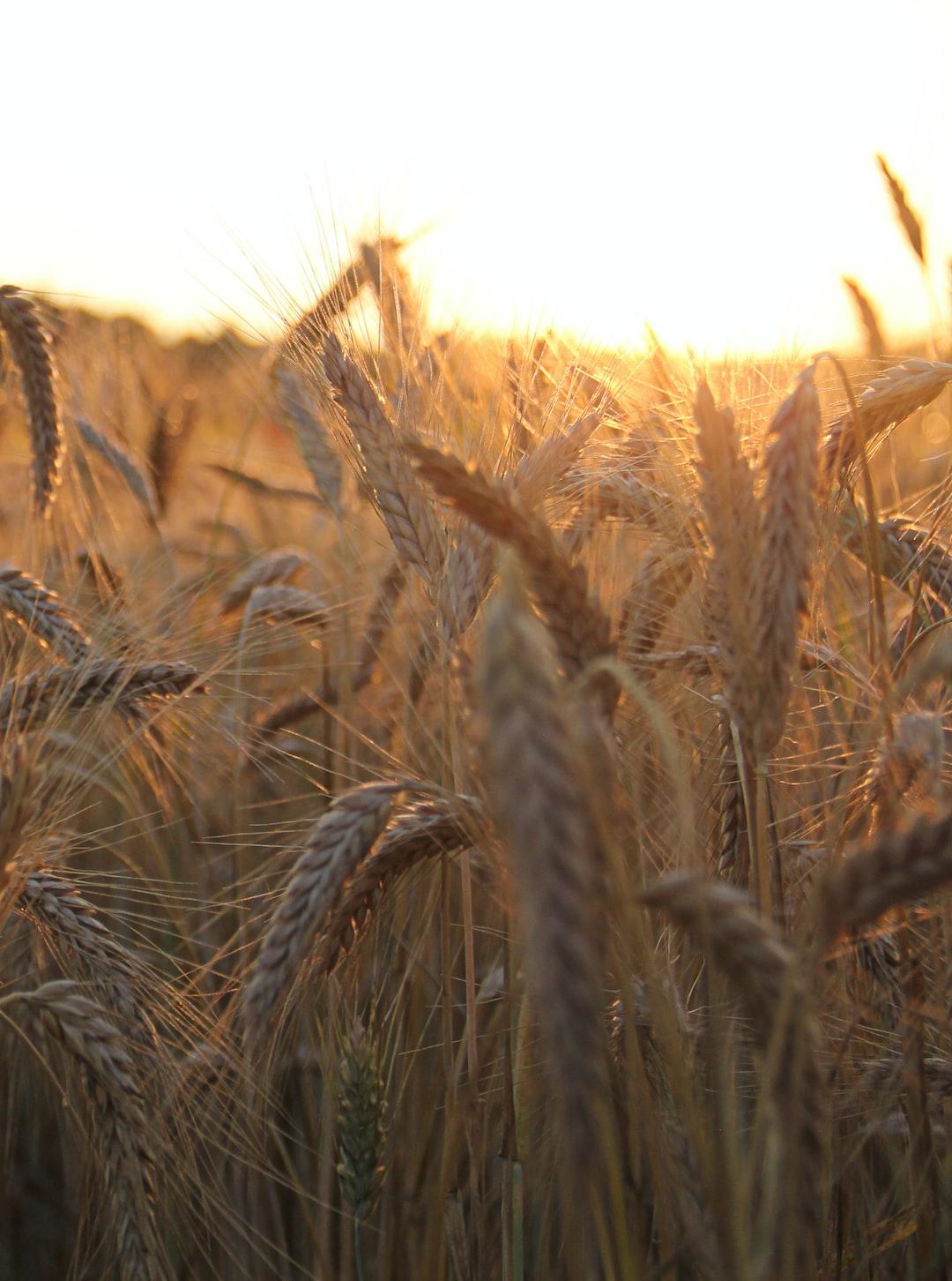 Wheat in the sunlight.