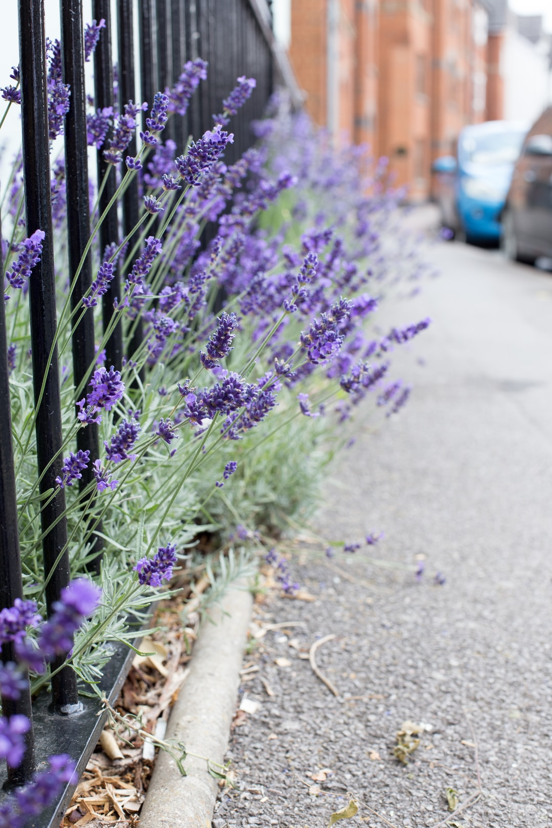 lavender on the street. Oxford