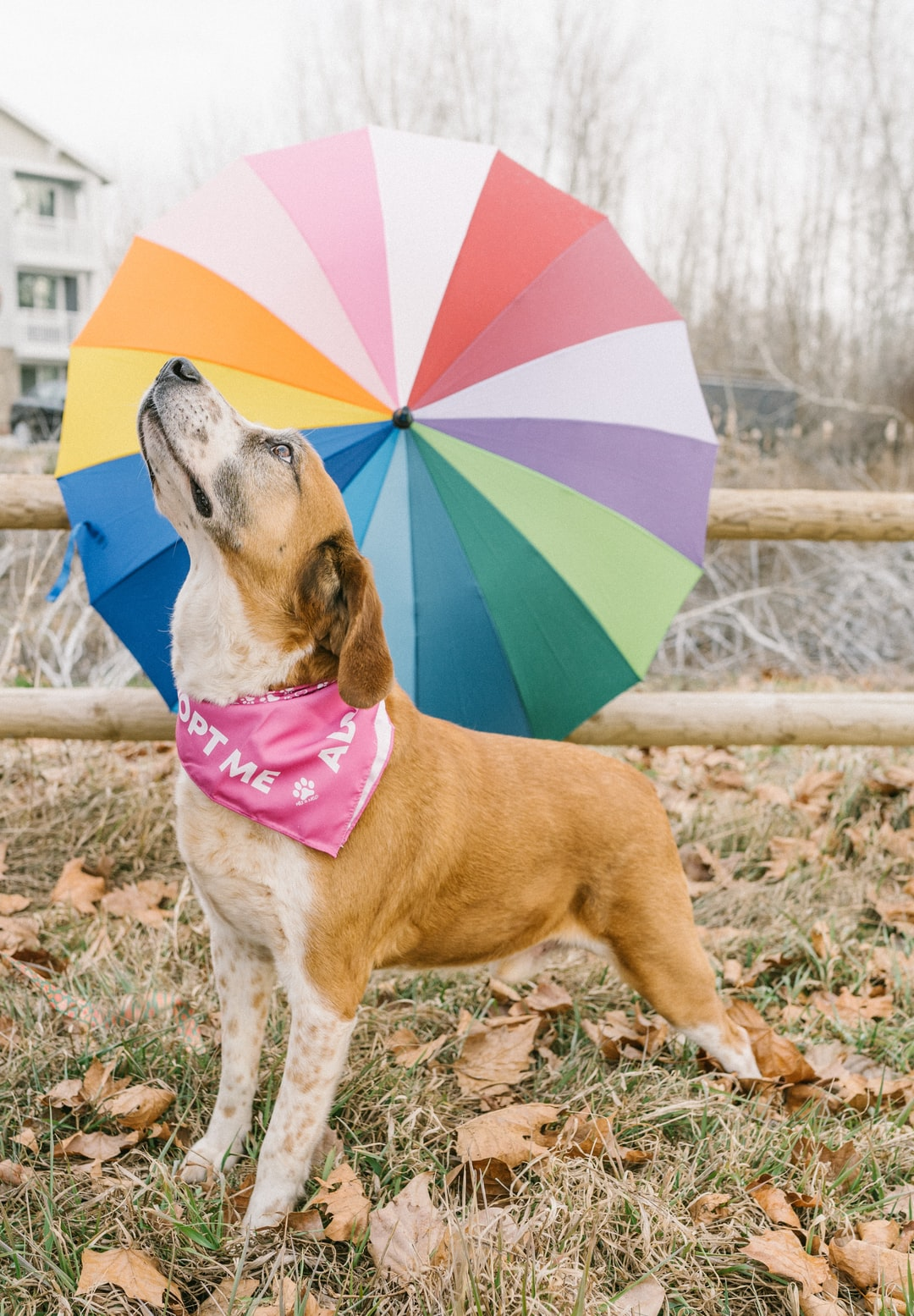 Rescue dog up for adoption, outdoors in front of rainbow umbrella